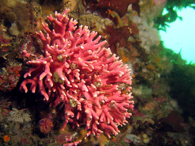 Pink Hydrocoral
