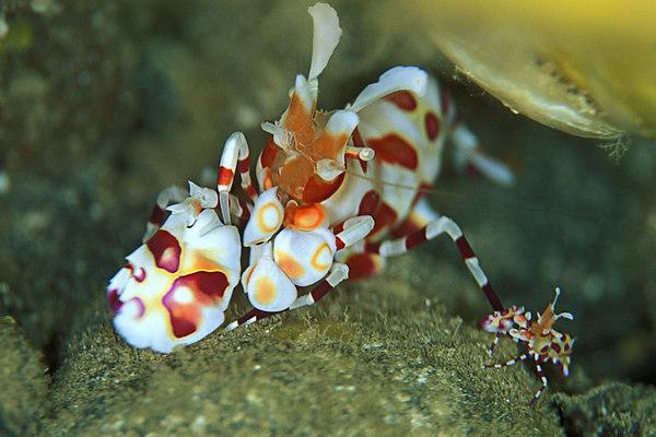 harlequin shrimp, Hymenocera picta,<br /> Hawaii ( Central Pacific Ocean )