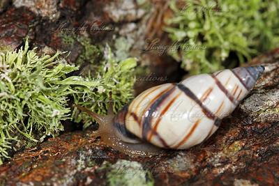 Tree Snail.  Florida 2010
