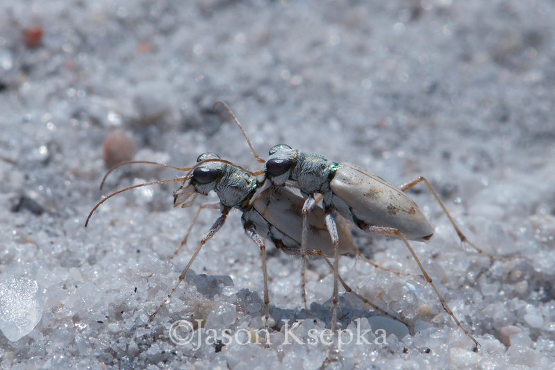 Ellipsoptera lepida, Ghost Tiger Beetle; Ocean County, New Jersey 2014-07-10   4