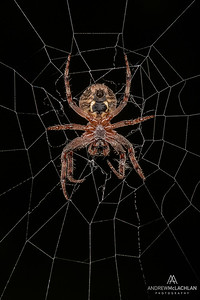 Orb Weaver Spider, Parry Sound, Ontario, Canada