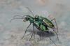Ellipsoptera marutha, Aridlands Tiger Beetle; Cochise County, Arizona 2014-07-29   34