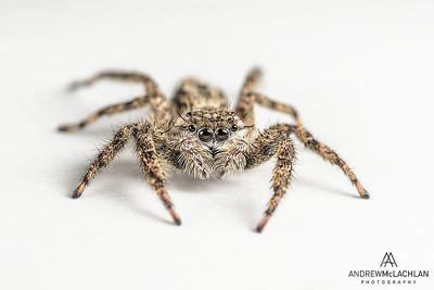 Tan Jumping Spider (Platycryptus undatus)