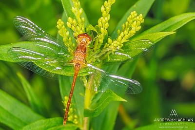 Meadowhawk (Sympetrum obtrusum) - female