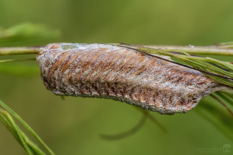 Mantis ootheca