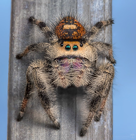 Female regal jumping spider