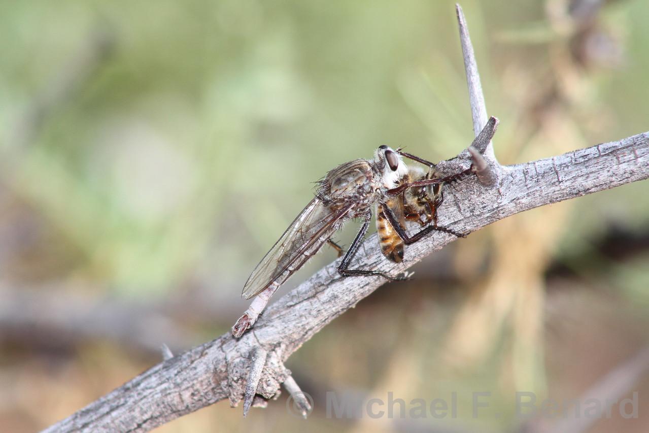 Robber Fly eating a honeybee