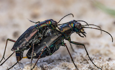Mating punctured tiger beetles