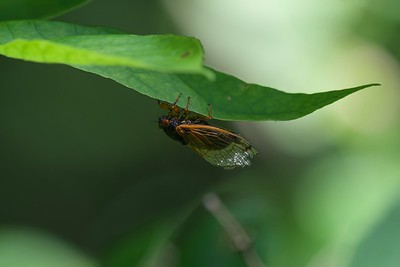 Brood X Periodical Cicada (Magicicada sp.)