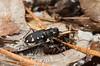 Cicindela patruela consentanea, Pine Barrens Tiger Beetle; Ocean County, New Jersey 2014-09-14   9