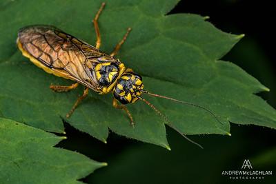 Sawfly, Parry Sound, Ontario, Canada