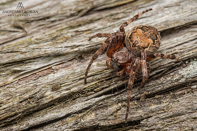 Orb Weaver Spider with red parasitic mites, Parry Sound, Ontario, Canada