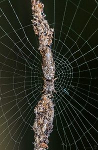 Trashline orbweaver