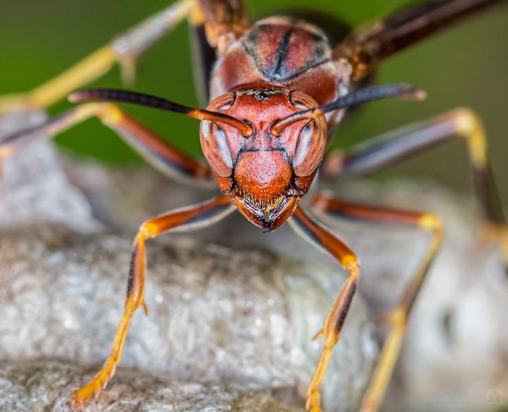 Metricus paper wasps