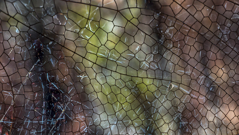 Dragonfly wing venation