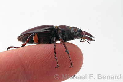 Stag Beetle on a finger