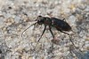 Cicindela repanda, Bronzed Tiger Beetle; Burlington County, New Jersey 2014-08-08   9
