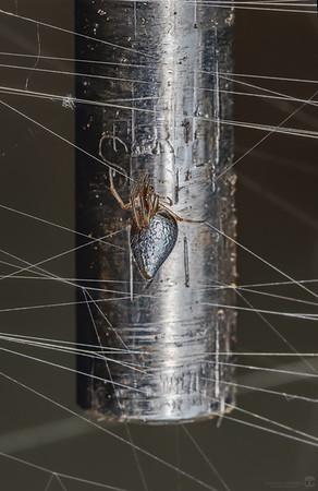 Dewsrop spider