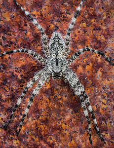 White-banded fishing spider