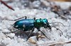 Cicindela scutellaris, Festive Tiger Beetle; Ocean County, New Jersey 2014-09-14   4