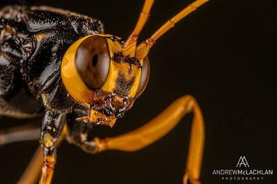 Giant Ichneumon Wasp (Megarhyssa atrata)