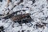 Cicindela repanda, Bronzed Tiger Beetle; Ocean County, New Jersey 2014-09-14