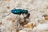 Cicindela sexguttata, Six-spotted Tiger Beetle; Cumberland County, New Jersey 2015-04-21   12