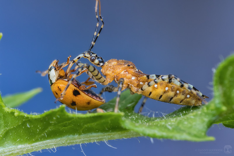 Striped assassin bug with asian lady beetle meal