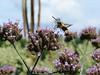 Hemaris thysbe, Bumblebee Moth; Cooper County,Missouri 2006-08-03   1