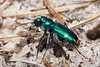 Cicindela scutellaris, Festive Tiger Beetle; Ocean County, New Jersey 2014-09-14   15