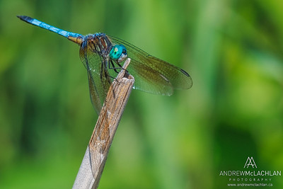Blue Dasher (Pachydiplax longipennis) - male