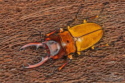 Prosopocoilus mirabilis - preserved specimen