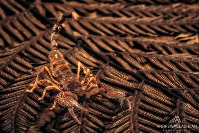 Madras Forest Scorpion (Heterometrus madraspatensis) - preserved specimen