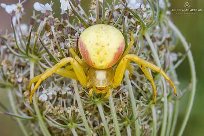 Goldenrod Crad Spider (Misumena vatia), Thornton, Ontario, Canada