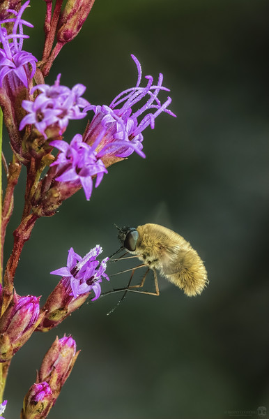 Beefly
