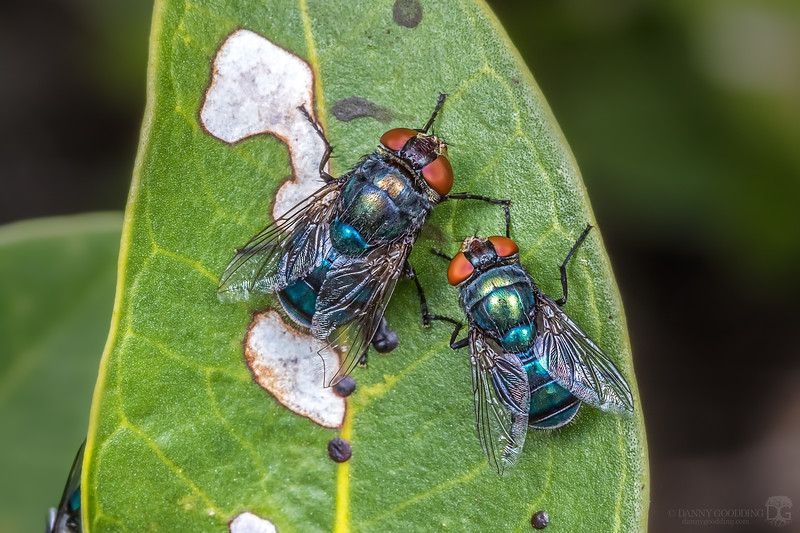 Blow flies (Calliphoridae)