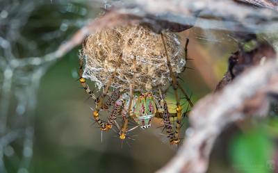 Green lynx spider guarding her eggsac