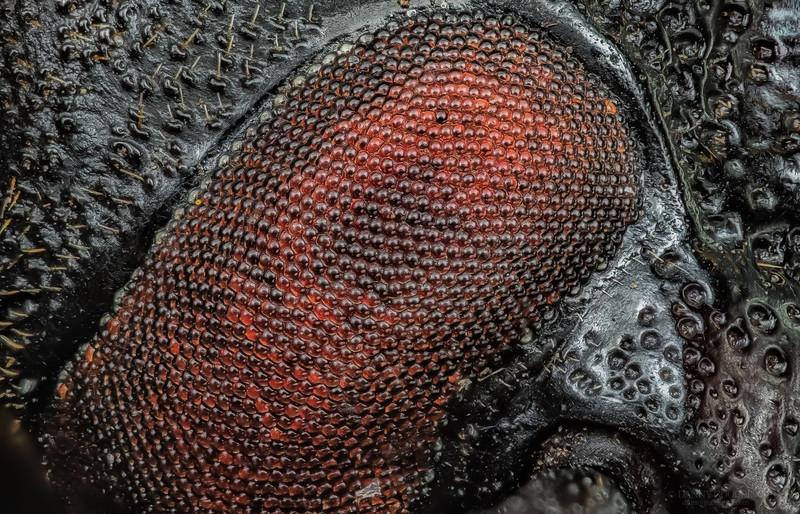 Eye of live-oak root borer