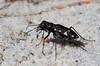 Cicindela patruela consentanea, Pine Barrens Tiger Beetle; Ocean County, New Jersey 2014-09-28   14