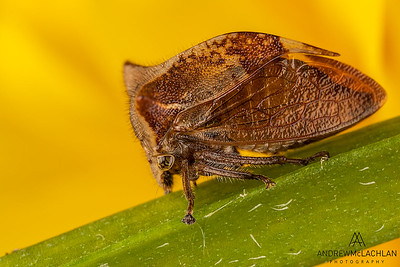 Two-horned leafhopper (Ceresa diceros)