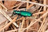Cicindela sexguttata, Six-spotted Tiger Beetle; Cumberland County, New Jersey 2015-04-21   2