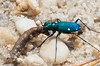 Cicindela sexguttata, Six-spotted Tiger Beetle; Cumberland County, New Jersey 2015-04-21   17