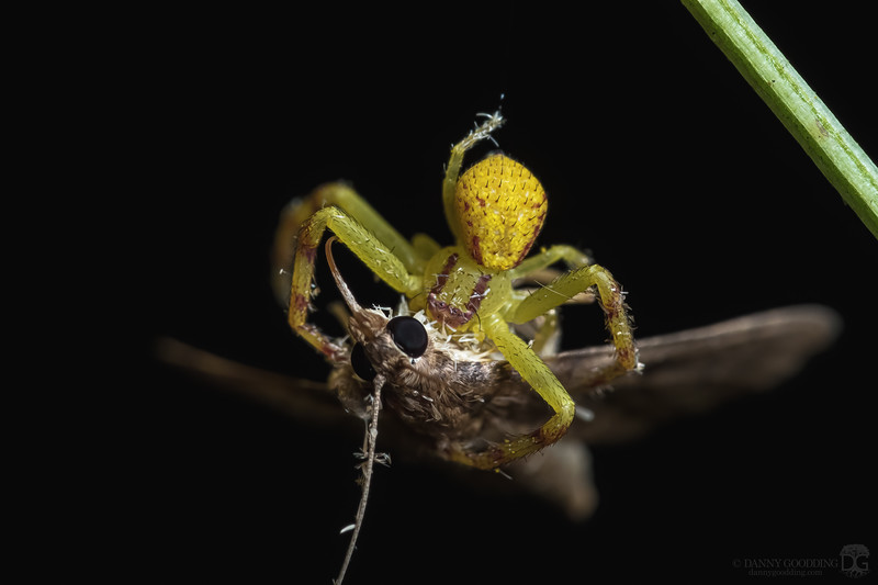Crab spider with prey