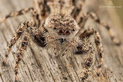 Gray Wall Jumping Spider (Menemerus bivittatus)