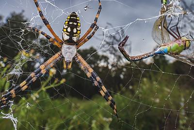 Yellow garden spider with captured dragonfly prey
