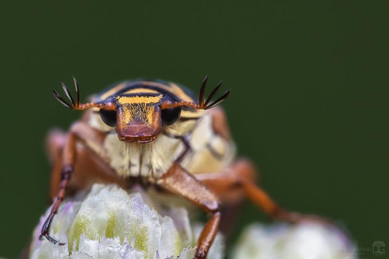 Delta flower beetle