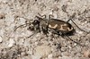 "Cicindela formosa ""generosa"", Big Sands Tiger Beetle; Ocean County, New Jersey 2014-09-14   6"