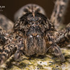 Brownish Gray Fishing Spider (Dolomedes tenebrosus)