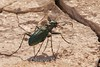 Cicindelidia punctulata, Punctured Tiger Beetle; Cochise County, Arizona 2014-07-24   1