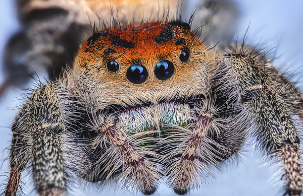 regal jumping spider